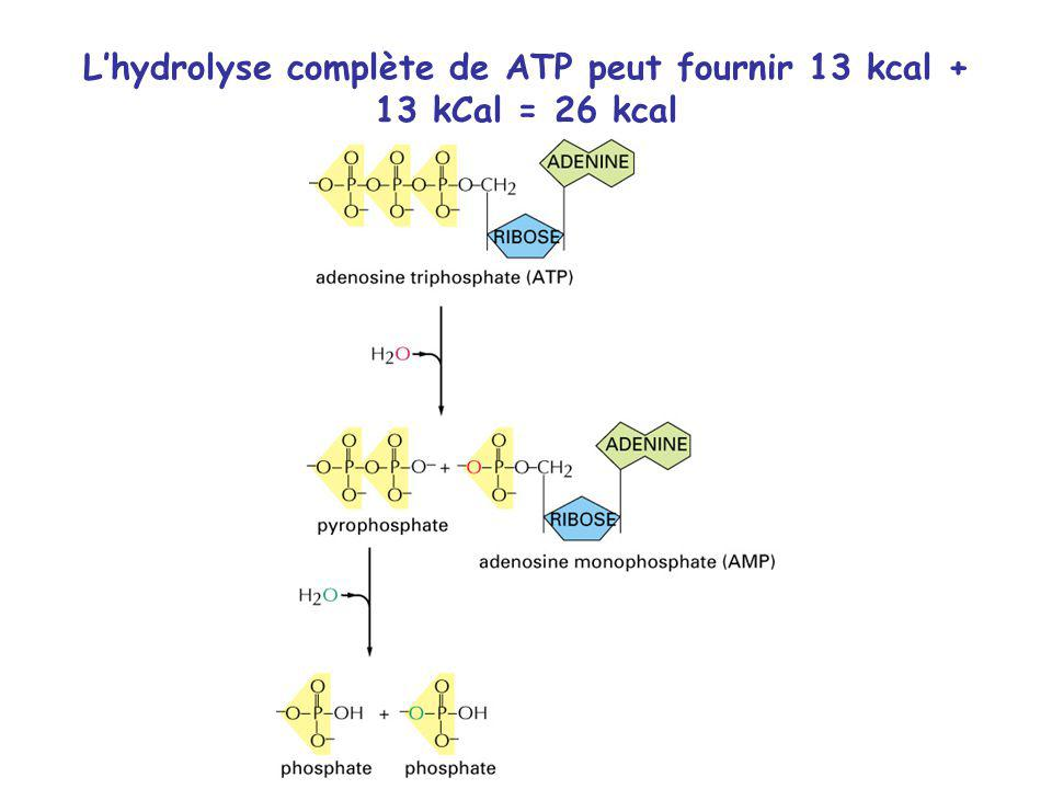 L'hydrolyse complète de ATP peut fournir 13 kcal + 13 kCal = 26 kcal
