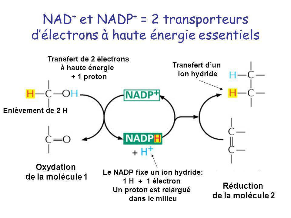 NAD+ et NADP+ = 2 transporteurs d'électrons à haute énergie essentiels