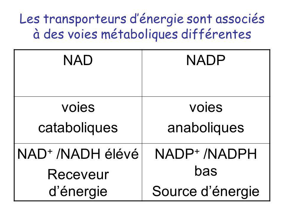 NAD NADP voies cataboliques anaboliques NAD+ /NADH élévé