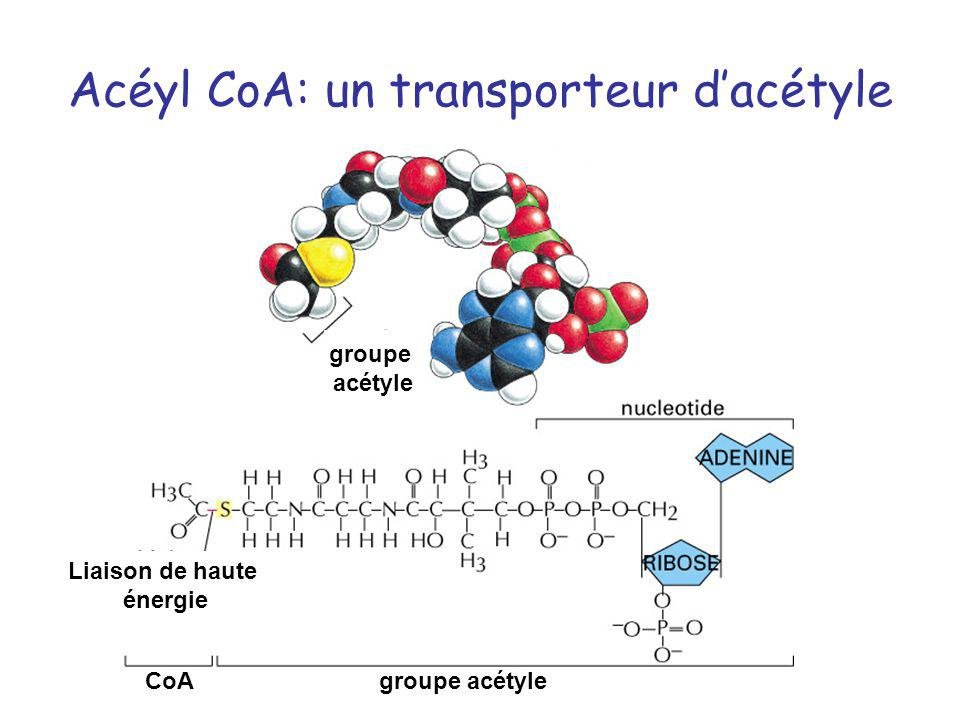 Acéyl CoA: un transporteur d'acétyle