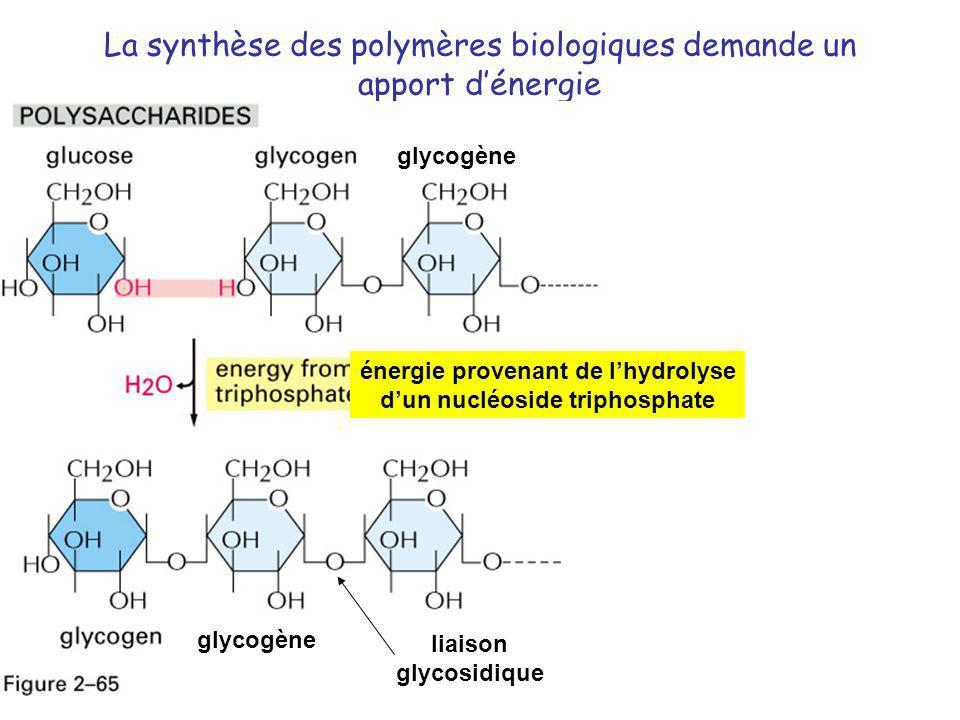 La synthèse des polymères biologiques demande un apport d'énergie