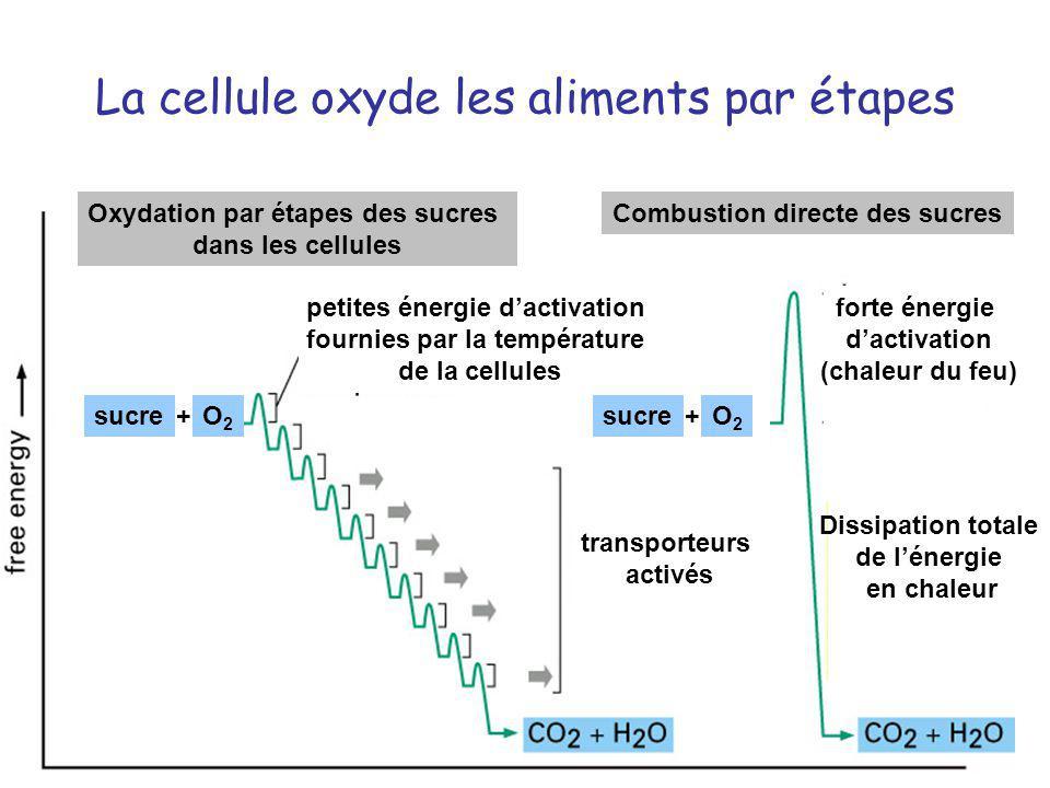 La cellule oxyde les aliments par étapes