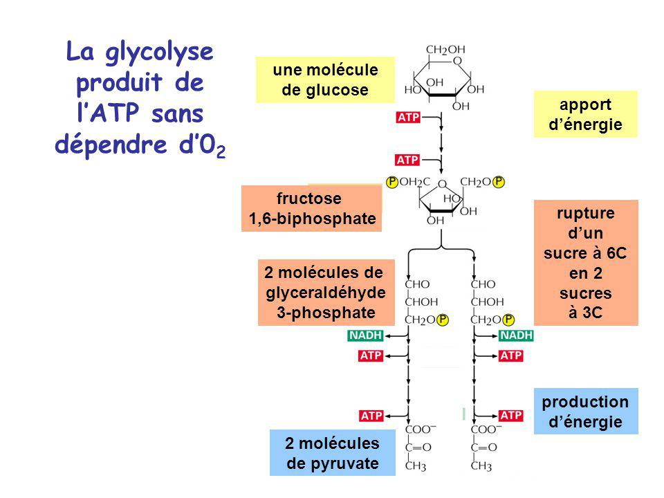 La glycolyse produit de l'ATP sans dépendre d'02