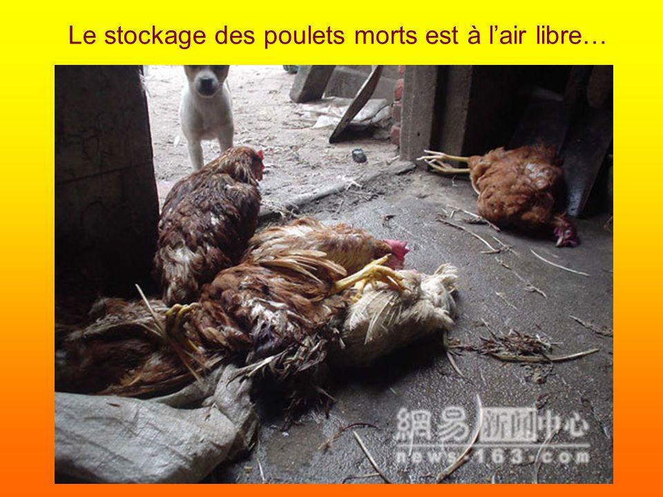 Le stockage des poulets morts est à l'air libre…