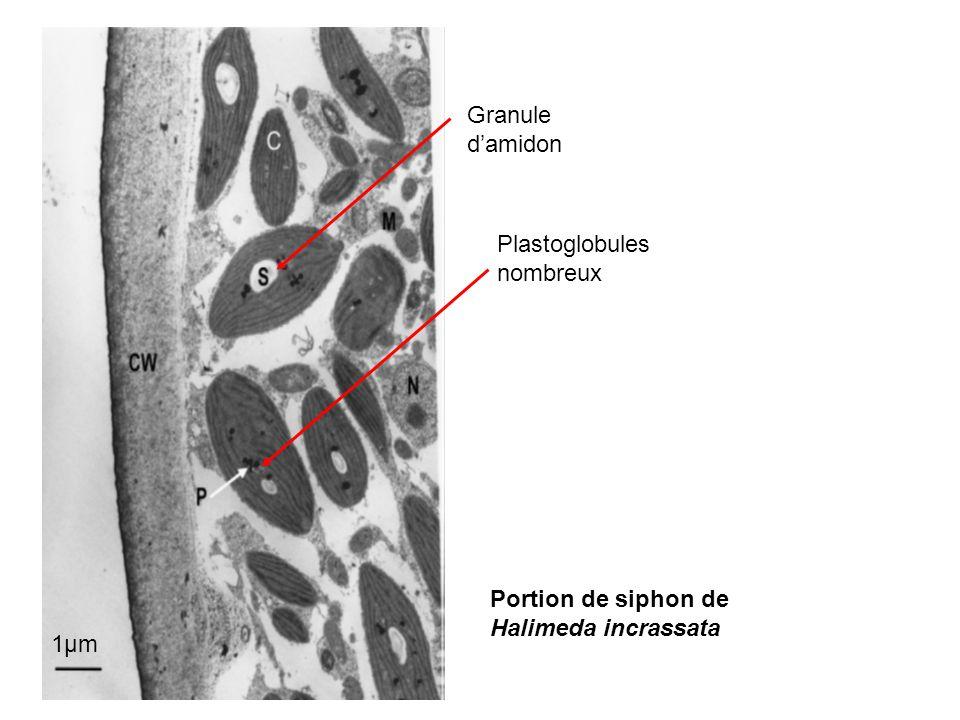 1µm Granule d'amidon Plastoglobules nombreux Portion de siphon de Halimeda incrassata