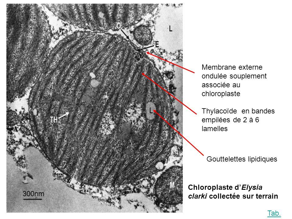 300nm Membrane externe ondulée souplement associée au chloroplaste. Thylacoïde en bandes empilées de 2 à 6 lamelles.