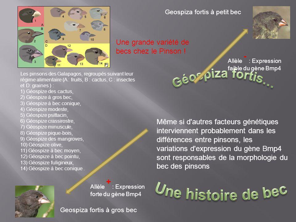 Géospiza fortis… Une histoire de bec