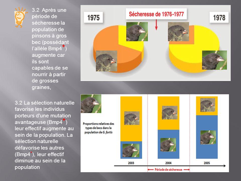 3.2 Après une période de sécheresse la population de pinsons à gros bec (possédant l'allèle Bmp4+) augmente car ils sont capables de se nourrir à partir de grosses graines,