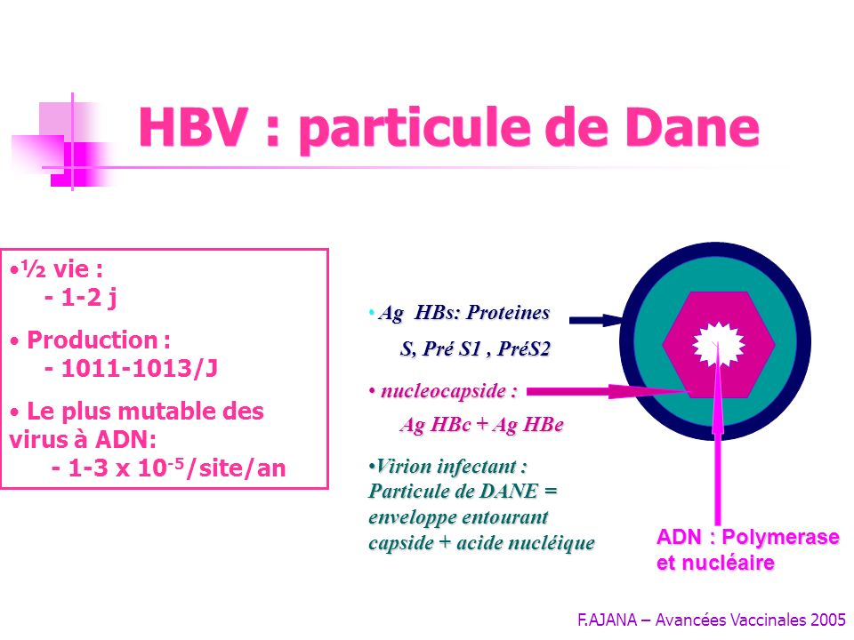 HBV : particule de Dane ½ vie : - 1-2 j Production : - 1011-1013/J