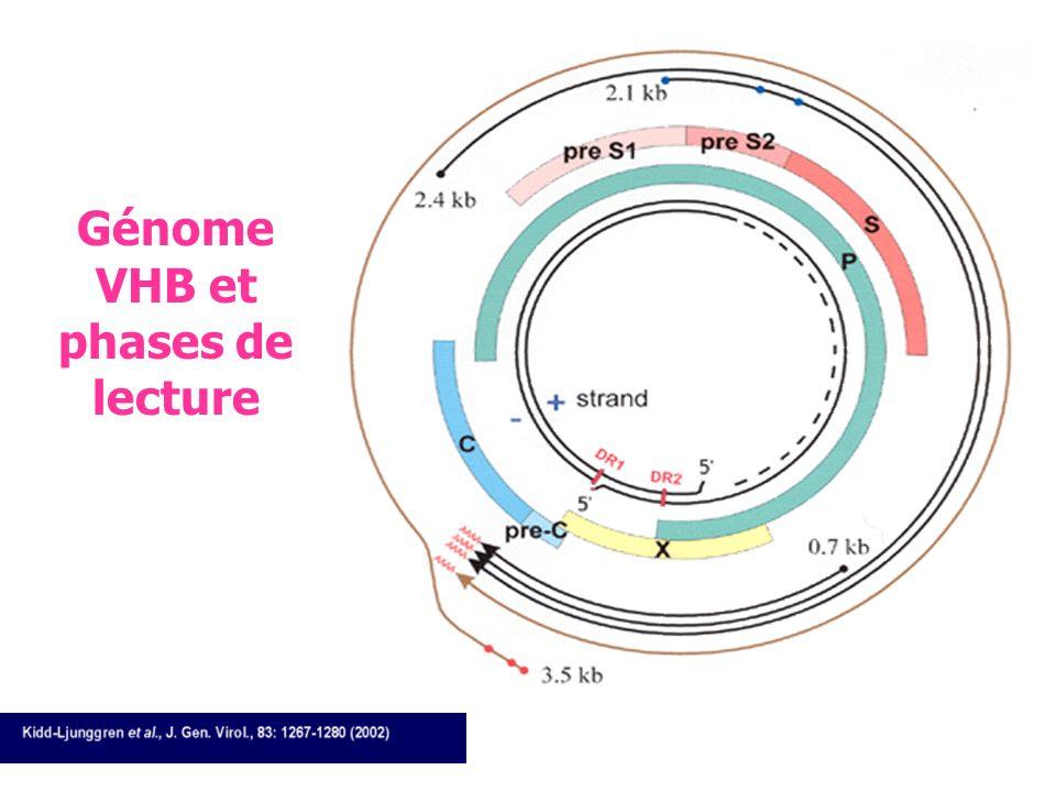 Génome VHB et phases de lecture