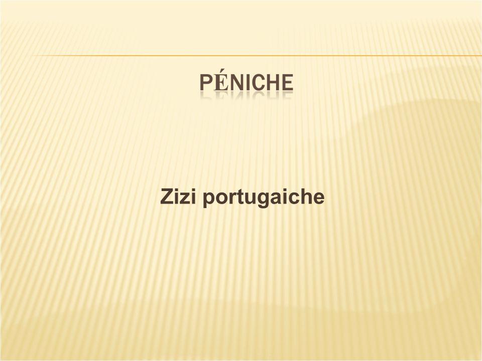 Zizi portugaiche