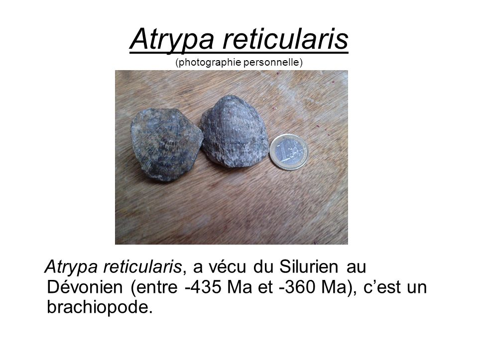 Atrypa reticularis (photographie personnelle)