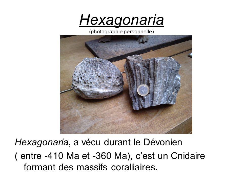 Hexagonaria (photographie personnelle)