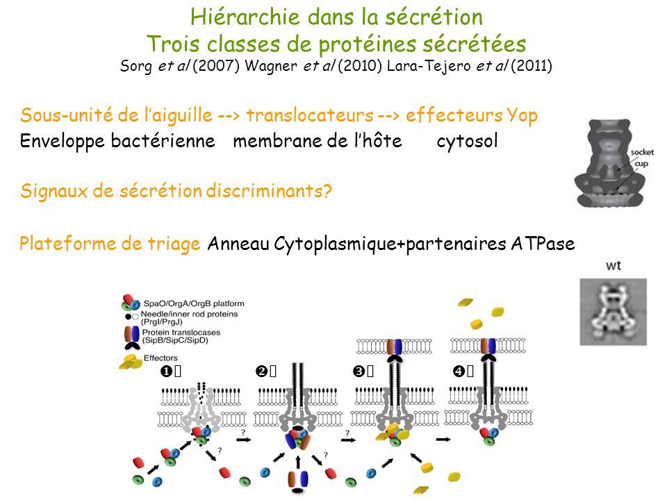 Hiérarchie dans la sécrétion Trois classes de protéines sécrétées