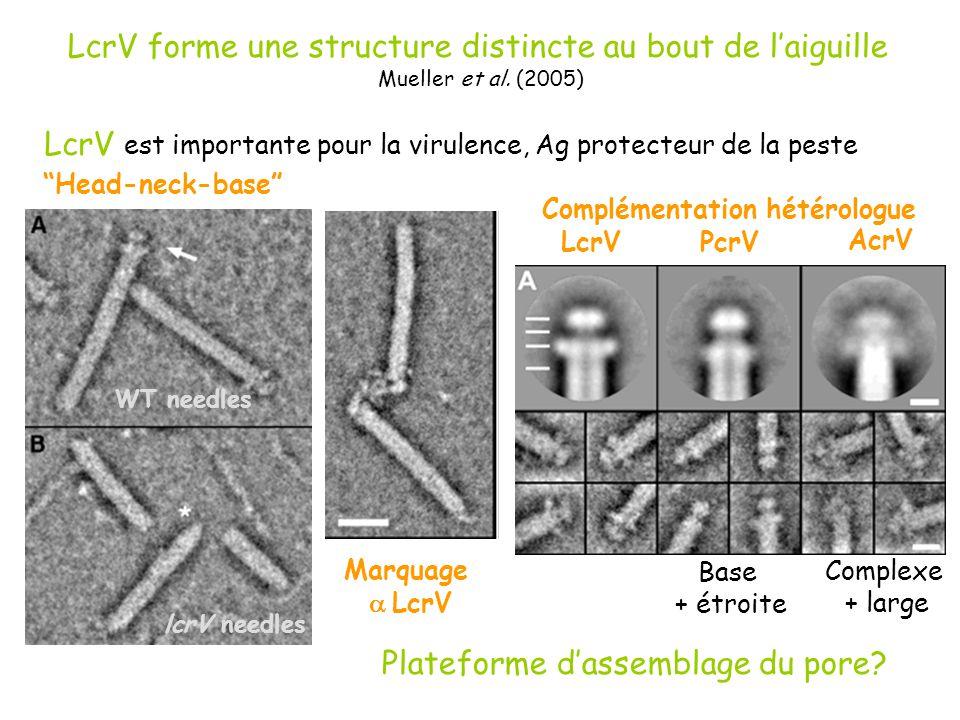 LcrV forme une structure distincte au bout de l'aiguille