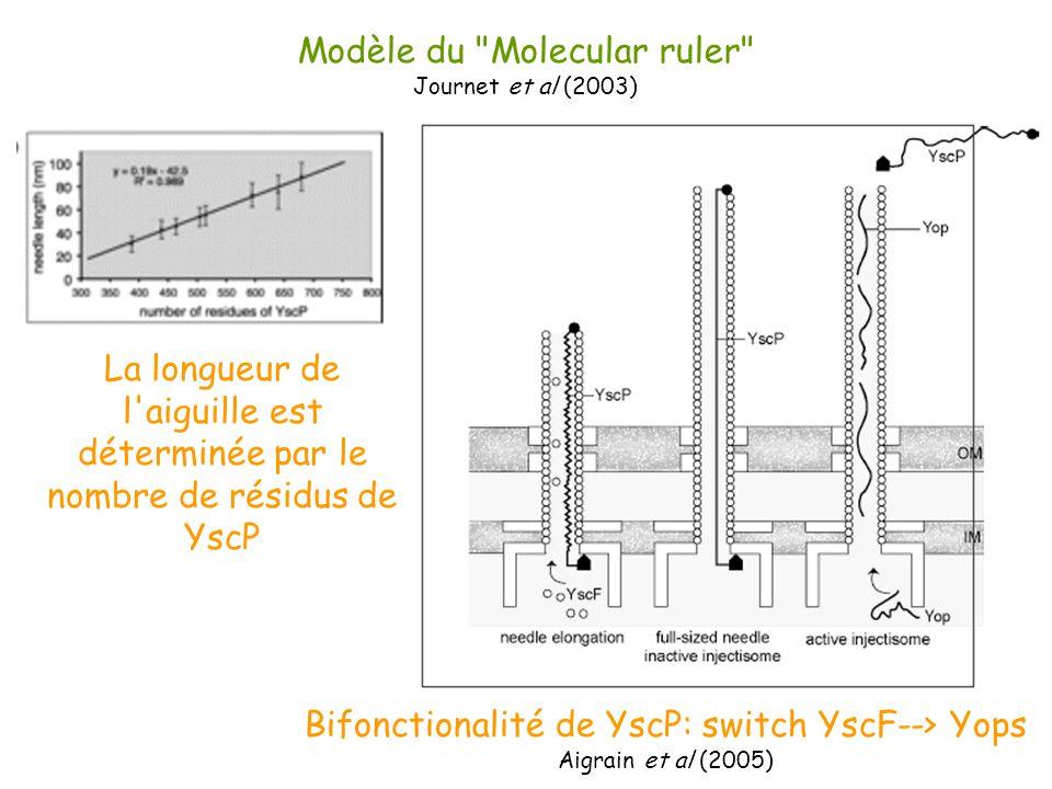 Modèle du Molecular ruler