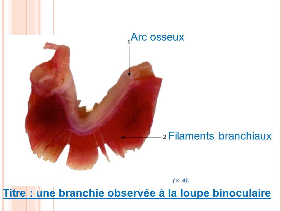 Arc osseux Filaments branchiaux Titre : une branchie observée à la loupe binoculaire