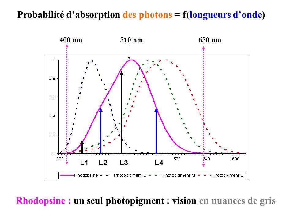 Rhodopsine : un seul photopigment : vision en nuances de gris