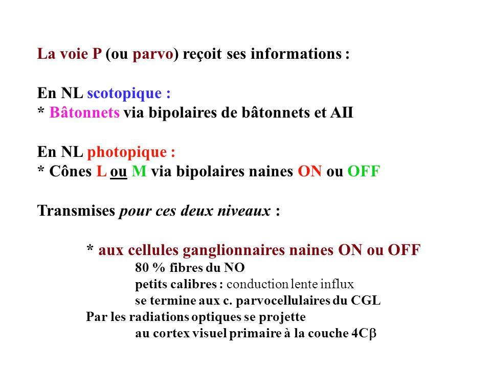 La voie P (ou parvo) reçoit ses informations : En NL scotopique :
