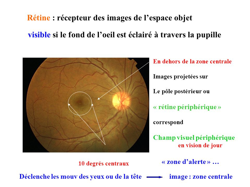 Rétine : récepteur des images de l'espace objet