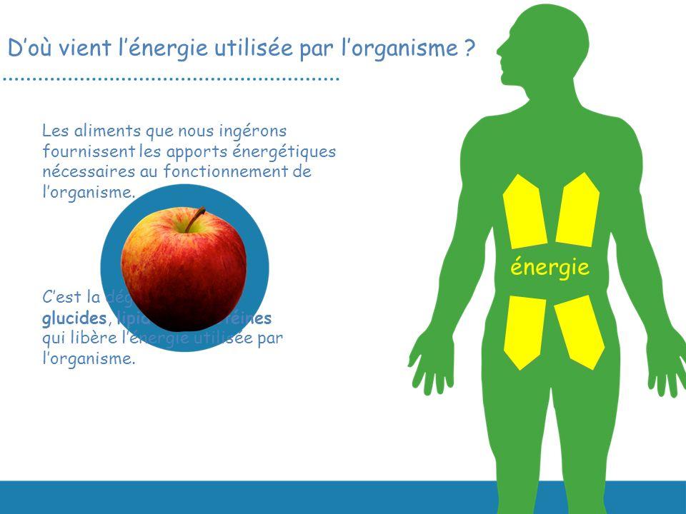 D'où vient l'énergie utilisée par l'organisme