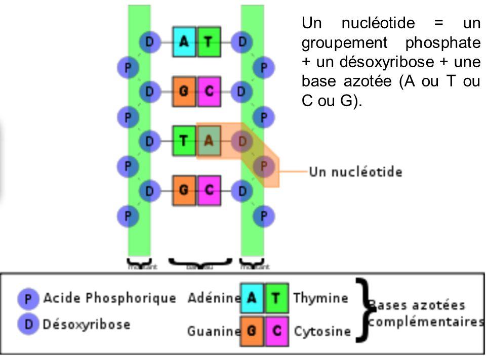 Un nucléotide = un groupement phosphate + un désoxyribose + une base azotée (A ou T ou C ou G).
