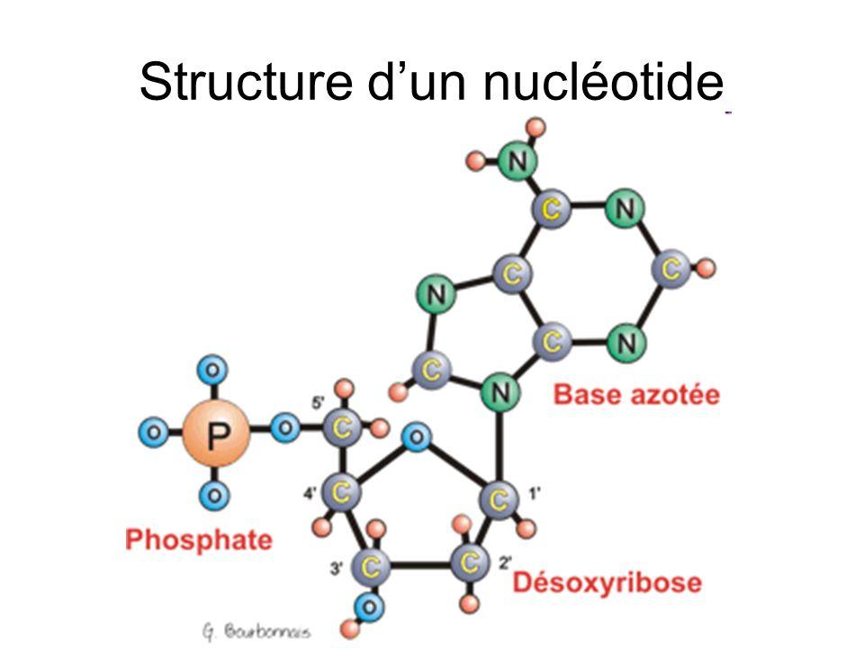 Structure d'un nucléotide