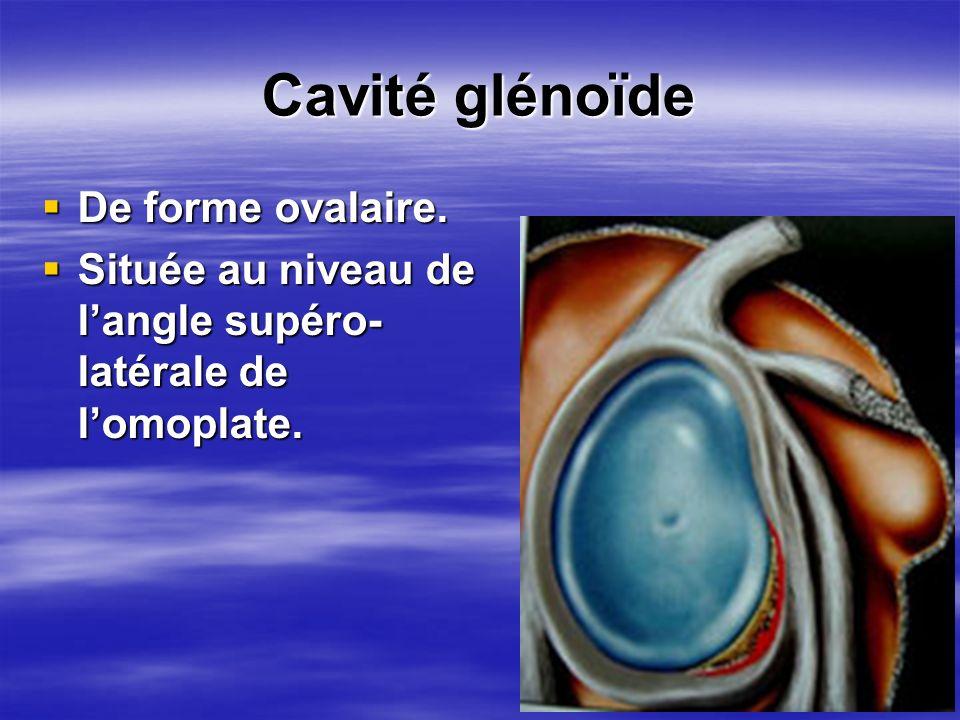 Cavité glénoïde De forme ovalaire.
