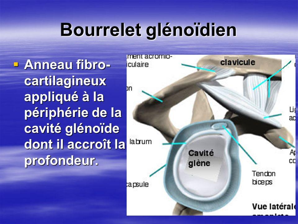 Bourrelet glénoïdien Anneau fibro-cartilagineux appliqué à la périphérie de la cavité glénoïde dont il accroît la profondeur.
