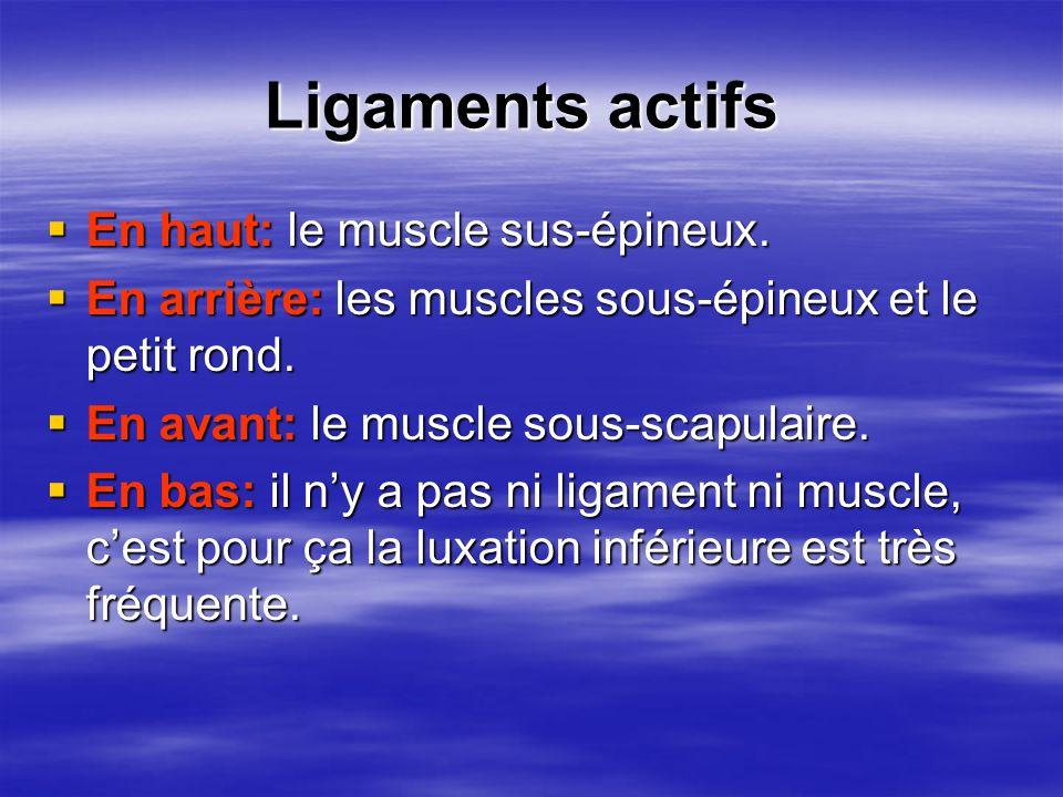 Ligaments actifs En haut: le muscle sus-épineux.