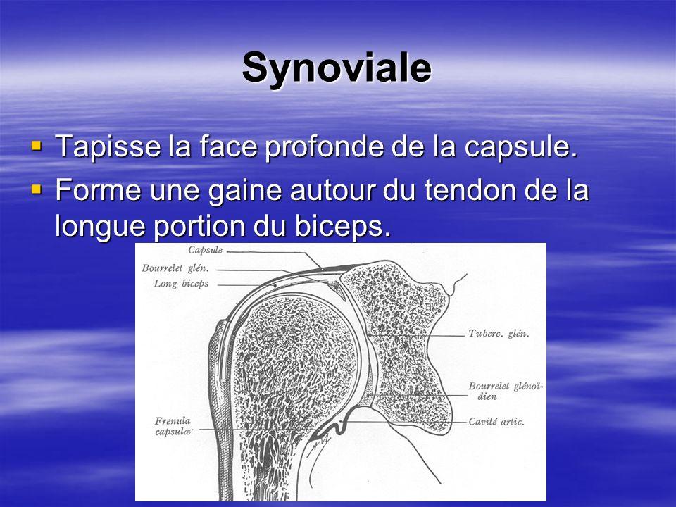 Synoviale Tapisse la face profonde de la capsule.