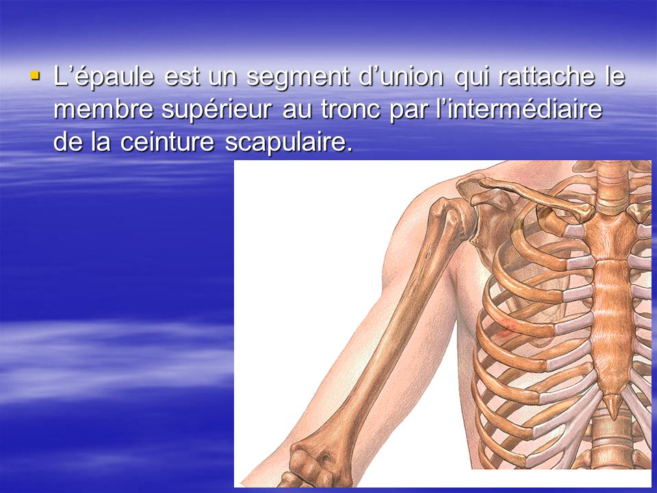 L'épaule est un segment d'union qui rattache le membre supérieur au tronc par l'intermédiaire de la ceinture scapulaire.