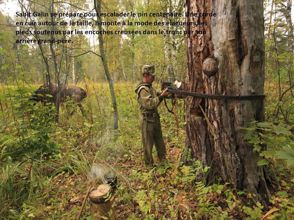 Sabit Galin se prépare pour escalader le pin centenaire