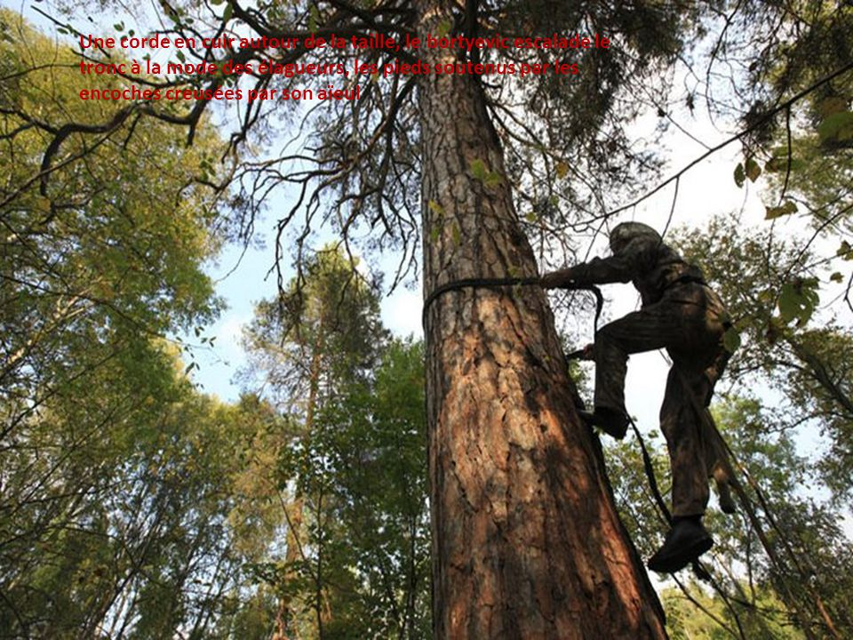 Une corde en cuir autour de la taille, le bortyevic escalade le tronc à la mode des élagueurs, les pieds soutenus par les encoches creusées par son aïeul