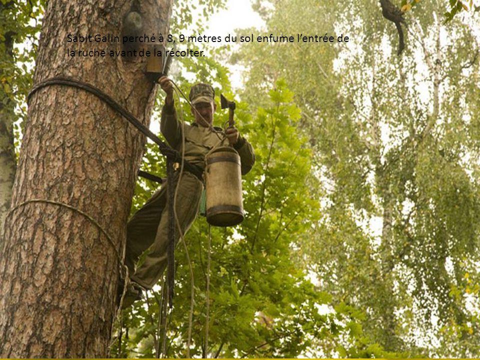 Sabit Galin perché à 8, 9 mètres du sol enfume l'entrée de la ruche avant de la récolter.