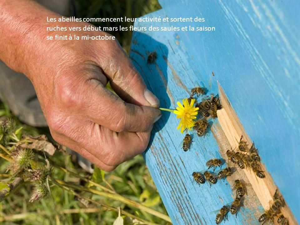 Les abeilles commencent leur activité et sortent des ruches vers début mars les fleurs des saules et la saison se finit à la mi-octobre