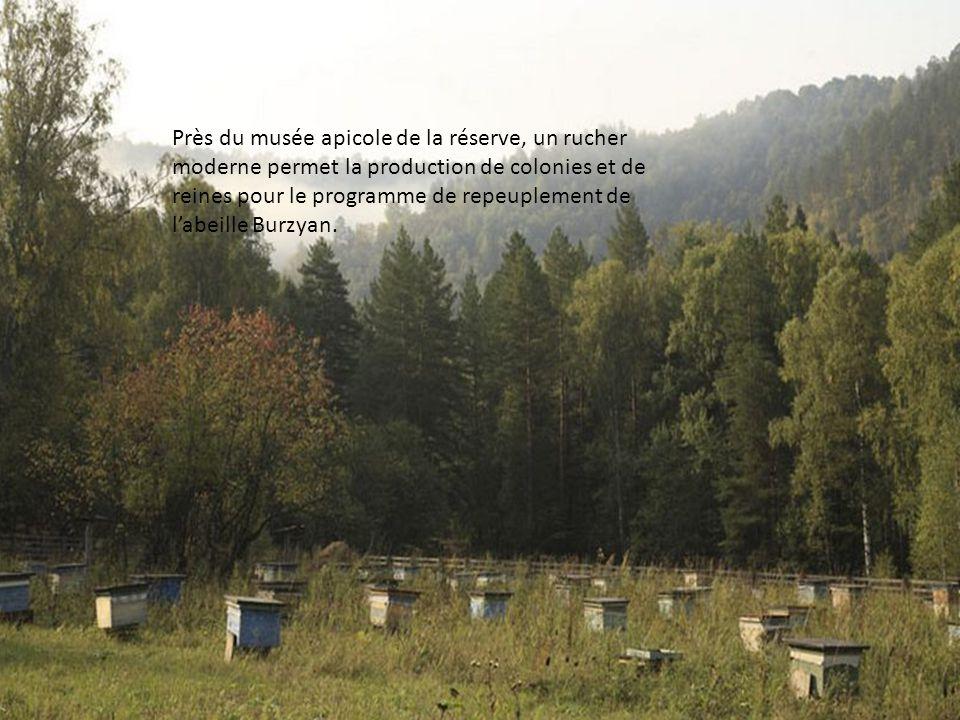 Près du musée apicole de la réserve, un rucher moderne permet la production de colonies et de reines pour le programme de repeuplement de l'abeille Burzyan.