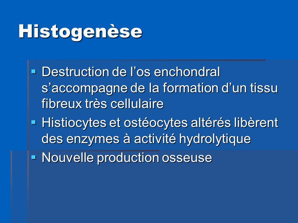 Histogenèse Destruction de l'os enchondral s'accompagne de la formation d'un tissu fibreux très cellulaire.