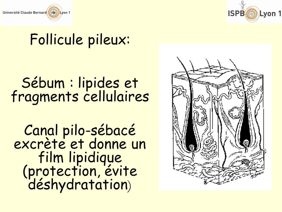 Sébum : lipides et fragments cellulaires