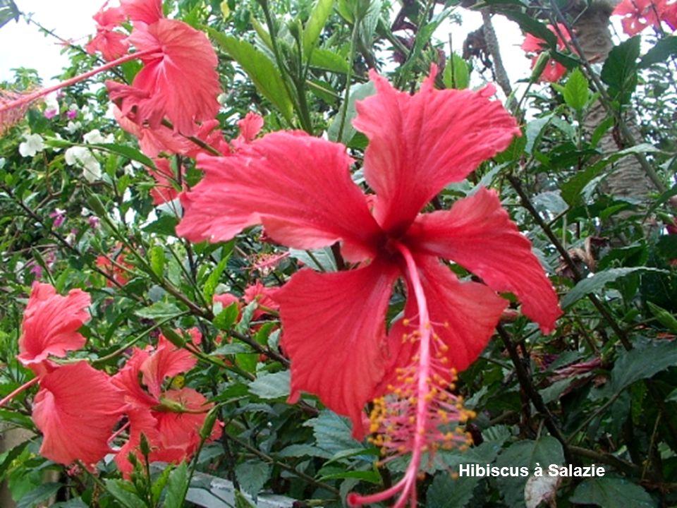 Hibiscus à Salazie