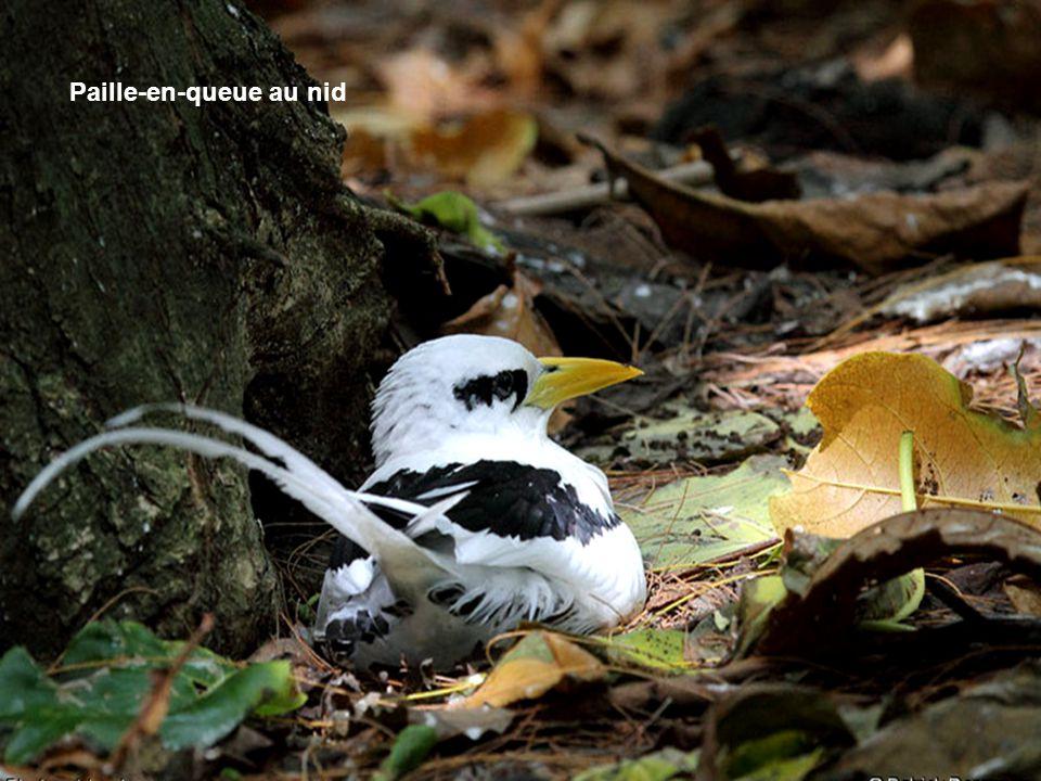 Paille-en-queue au nid