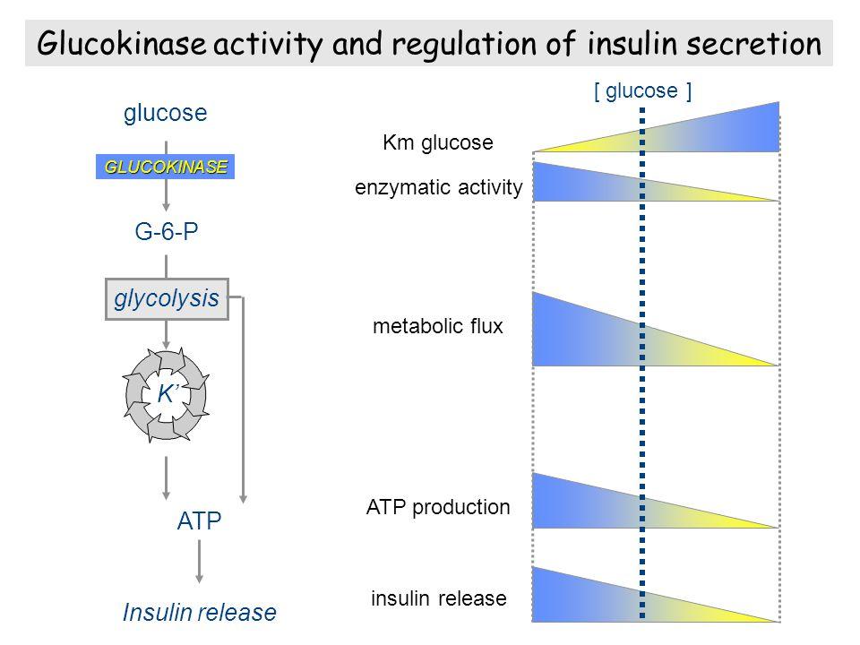 Glucokinase activity and regulation of insulin secretion