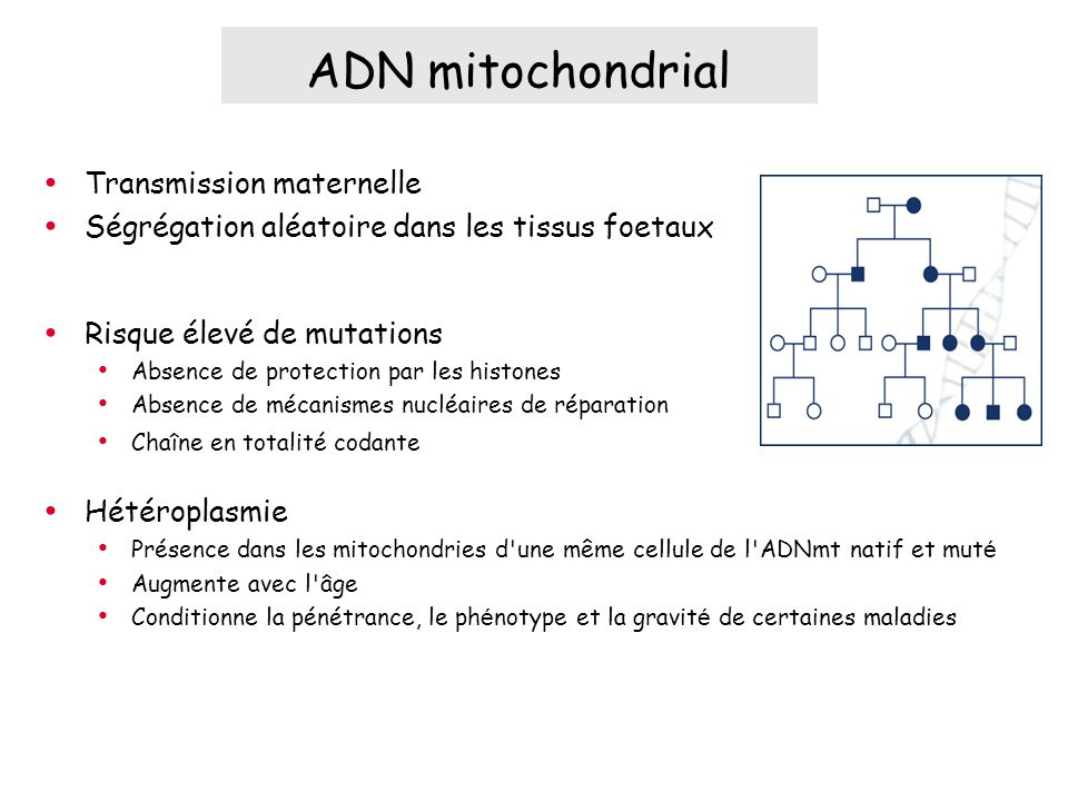 ADN mitochondrial Transmission maternelle