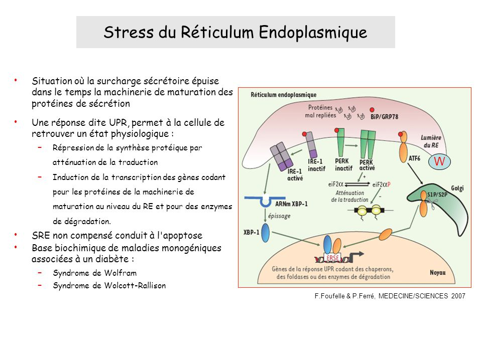 Stress du Réticulum Endoplasmique