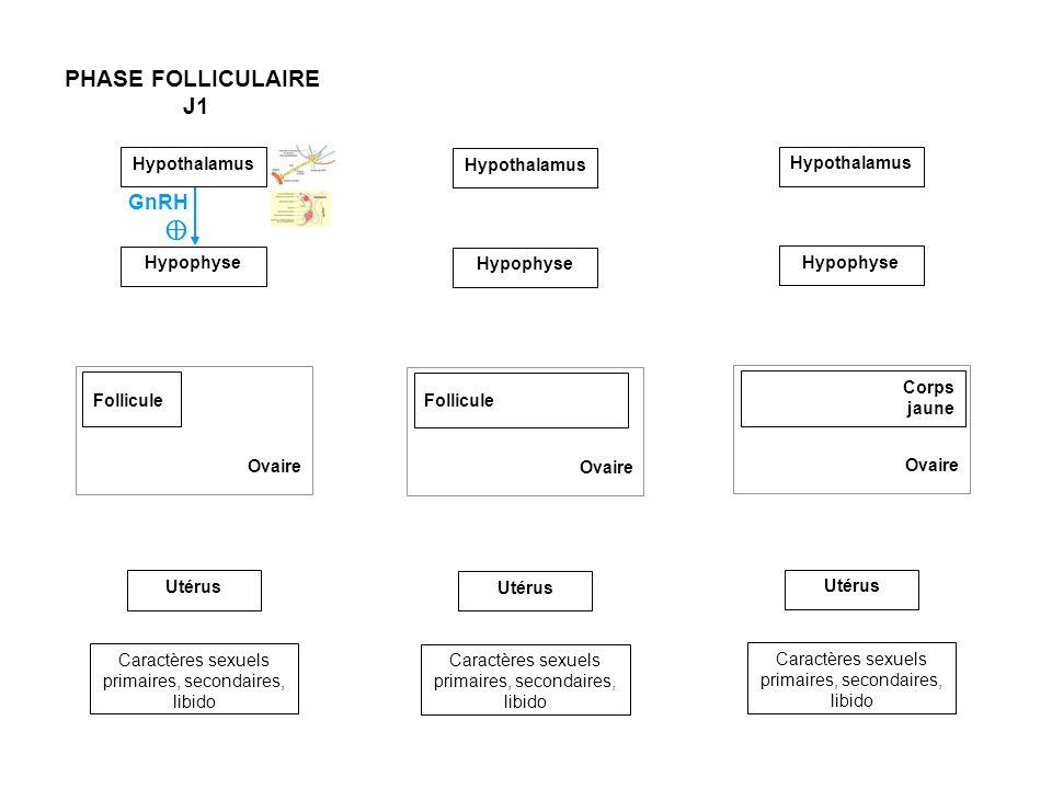 PHASE FOLLICULAIRE J1 GnRH ⊕ Hypothalamus Hypothalamus Hypophyse