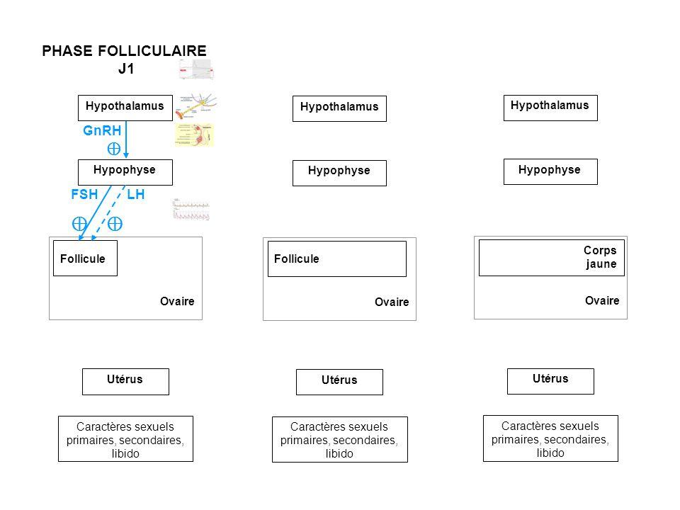 ⊕ ⊕ PHASE FOLLICULAIRE J1 GnRH ⊕ FSH LH Hypothalamus Hypothalamus