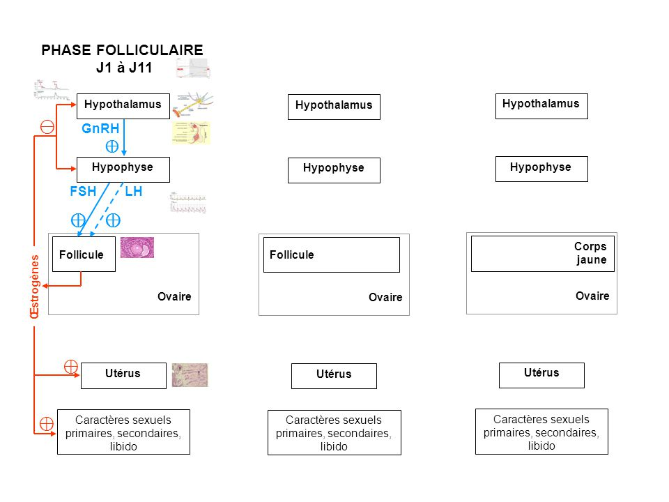⊖ ⊕ ⊕ ⊕ PHASE FOLLICULAIRE J1 à J11 GnRH ⊕ FSH LH Hypothalamus