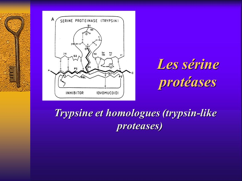 Trypsine et homologues (trypsin-like proteases)
