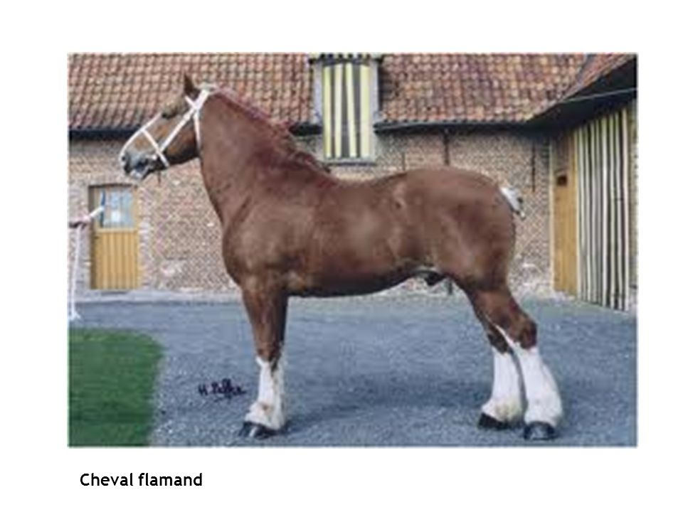 CHEVAL FLAMAND Cheval flamand La Pacification de Gand - 1570