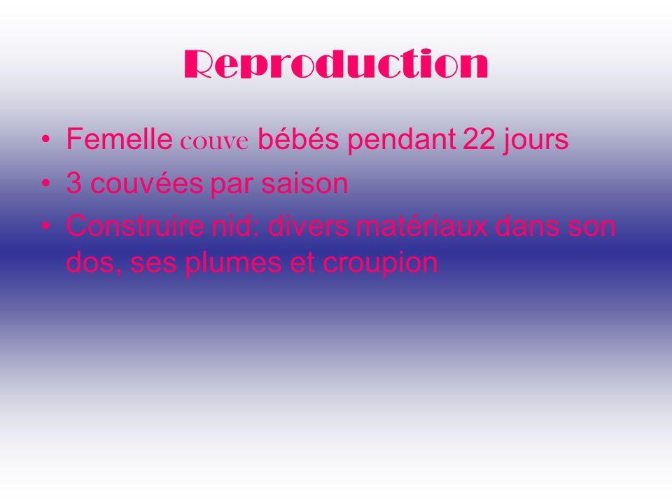 Reproduction Femelle couve bébés pendant 22 jours 3 couvées par saison